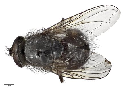 Calliphora kermadeca