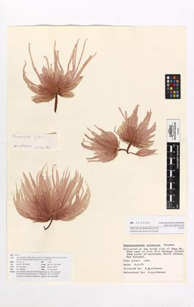 <em>Hummbrella hydra</em>, AK333030, © Auckland Museum CC BY