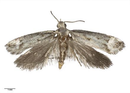 AMNZ21777 <em>Lysiphragma argentaria</em>
