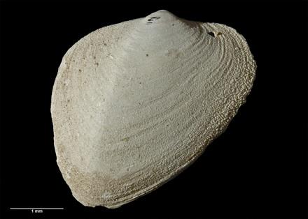 Anisodonta (Tahunanuia) alata trigonia