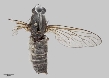 Anabarhynchus wisei