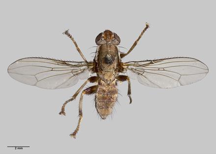 Napaeosciomyza rara