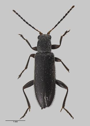 Stenocyphon neozealandicus