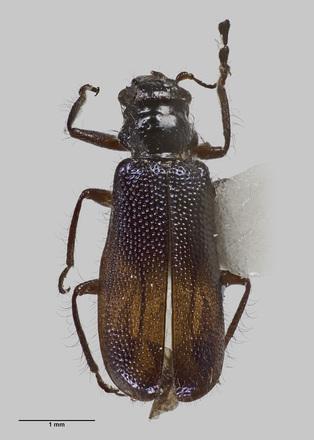 Phymatophaea tracheloglaba