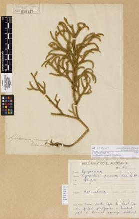 <em>Lycopodiella cernua</em>, AK259247, © Auckland Museum CC BY
