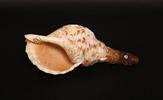 Pukaea or putatara, shell trumpet. The shell is Se...