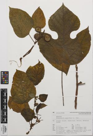 AK214298-a, <em>Broussonetia papyrifera</em>