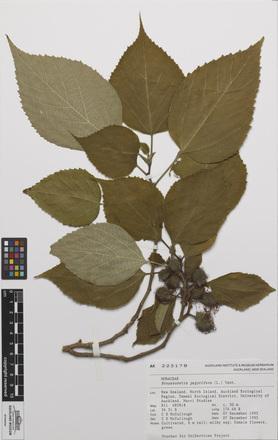 AK225178-a, <em>Broussonetia papyrifera</em>