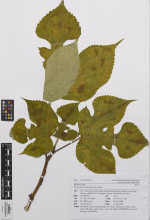 <em>Broussonetia papyrifera</em>, AK295889, N/A