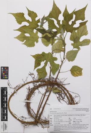 <em>Broussonetia papyrifera</em>, AK296981, N/A