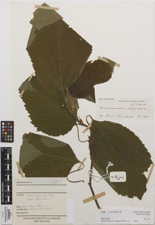 <em>Broussonetia papyrifera</em>, AK116673, N/A