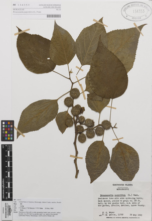 <em>Broussonetia papyrifera</em>, AK134353, N/A