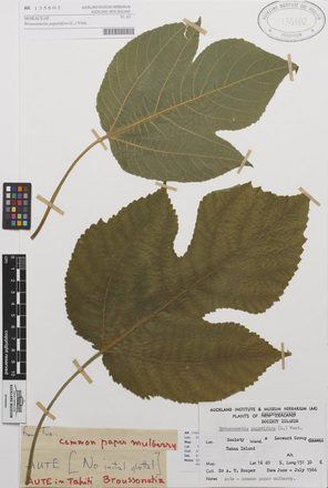 AK135602-a, <em>Broussonetia papyrifera</em>