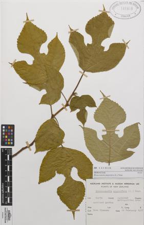 <em>Broussonetia papyrifera</em>, AK141818, N/A