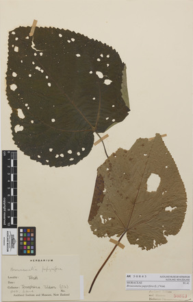 <em>Broussonetia papyrifera</em>, AK50843, N/A