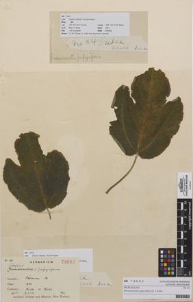 AK74683-a, <em>Broussonetia papyrifera</em>