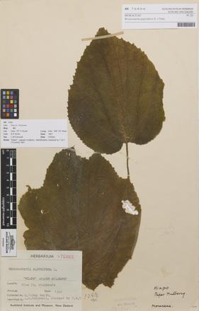 AK76866-a, <em>Broussonetia papyrifera</em>