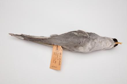 <em>Chlidonias albostriatus</em>, LB2915, © Auckland Museum CC BY