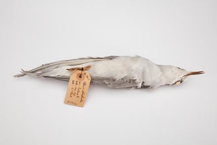 <em>Chlidonias albostriatus</em>, LB2916, © Auckland Museum CC BY