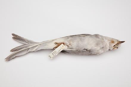 <em>Chlidonias albostriatus</em>, LB2918, © Auckland Museum CC BY
