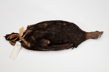 <em>Megapodius</em>; LB6283; © Auckland Museum CC BY