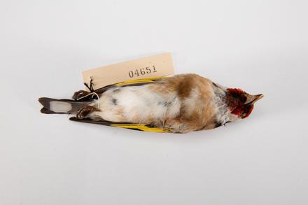 <em>Carduelis carduelis</em>, LB4651, © Auckland Museum CC BY