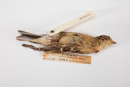 <em>Calcarius pictus</em>, LB7520, © Auckland Museum CC BY