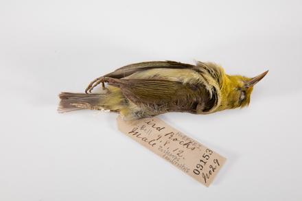 <em>Zosterops tenuirostris</em>, LB9153, © Auckland Museum CC BY