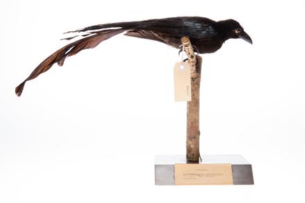 <em>Dicrurus megarhynchus</em>; LB8137; © Auckland Museum CC BY