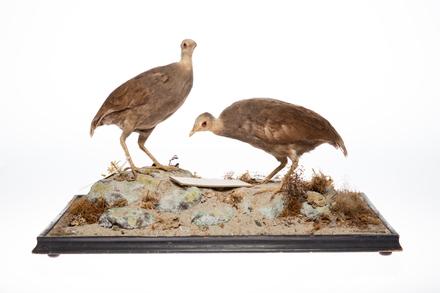 <em>Megapodius pritchardii</em>; LB8028; © Auckland Museum CC BY
