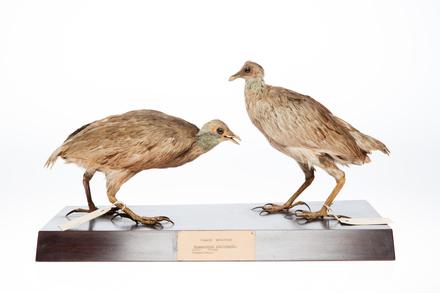 <em>Megapodius pritchardii</em>; LB8142; © Auckland Museum CC BY