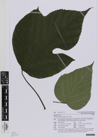 AK360473; <em>Broussonetia papyrifera</em>; Photographed by: Linda Adams; photographer; digital; 25 Jul 2016; © Auckland Museum CC BY