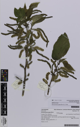 AK361130, <em>Broussonetia papyrifera</em>, Photographed by: Eugene Wong Doe, photographer, digital, 14 Sep 2016, © Auckland Museum CC BY