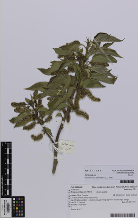 AK361131, <em>Broussonetia papyrifera</em>, Photographed by: Eugene Wong Doe, photographer, digital, 14 Sep 2016, © Auckland Museum CC BY