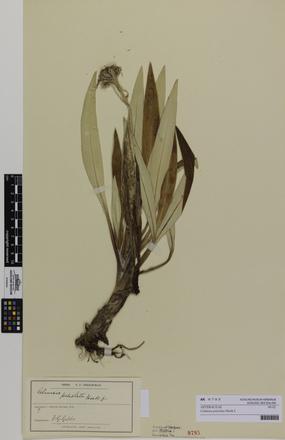 <em>Celmisia petiolata</em>; AK9795; © Auckland Museum CC BY