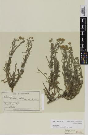 <em>Vittadinia australis</em>, AK49904, © Auckland Museum CC BY