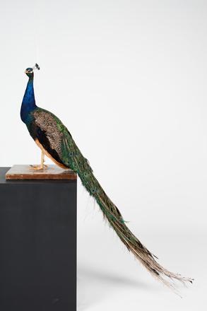 <em>Pavo cristatus</em>, LB10911, © Auckland Museum CC BY