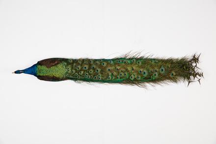 <em>Pavo cristatus</em>, LB10191, © Auckland Museum CC BY