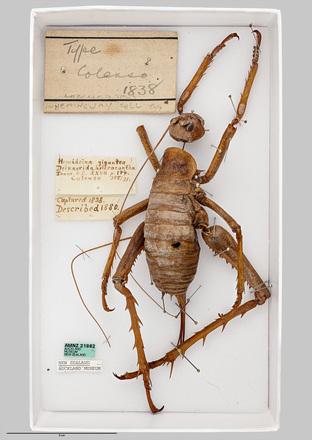 AMNZ21862, <em>Deinacrida heteracantha</em>, <em>Hemideina gigantea</em>, Photographed by: Peter Quin, photographer, digital, Aug 2016