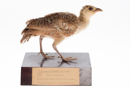<em>Pavo cristatus</em>, LB13797, © Auckland Museum CC BY