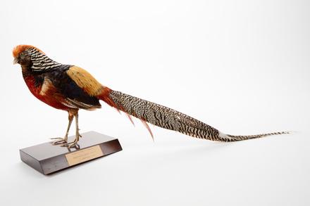 <em>Chrysolophus pictus</em>; LB13809; © Auckland Museum CC BY