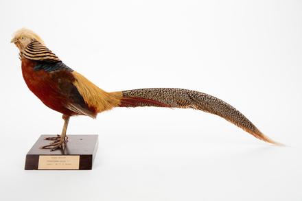 <em>Chrysolophus pictus</em>; LB13810; © Auckland Museum CC BY