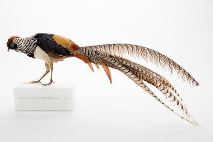<em>Chrysolophus amherstiae</em>; LB4332; © Auckland Museum CC BY