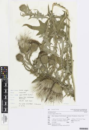 <em>Cirsium vulgare</em>, AK363759, © Auckland Museum CC BY