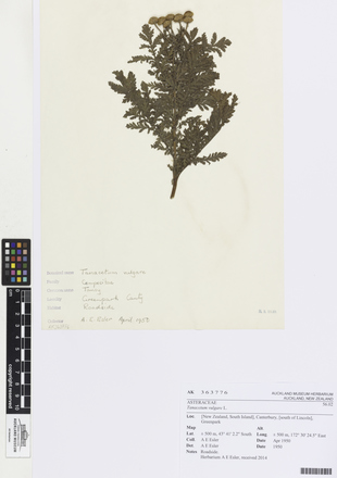 Tanacetum vulgare, AK363776, © Auckland Museum CC BY