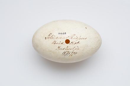 <em>Pelecanus crispus</em>, LB10486, © Auckland Museum CC BY