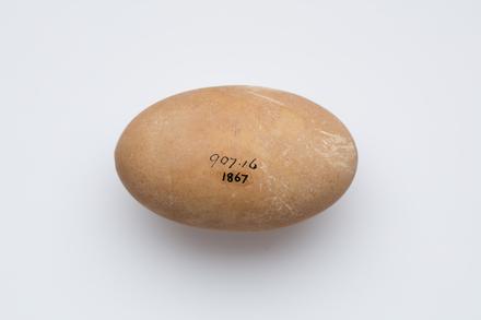 <em>Megapodius pritchardii</em>, LB1867, © Auckland Museum CC BY