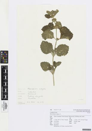 <em>Marrubium vulgare</em>, AK364718, N/A