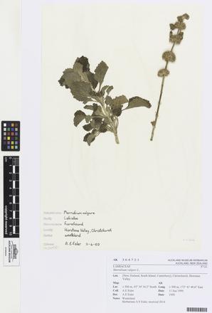<em>Marrubium vulgare</em>, AK364721, © Auckland Museum CC BY