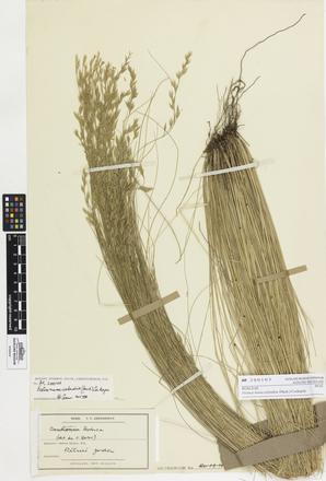 <em>Festuca novae-zelandiae</em>, AK200103, © Auckland Museum CC BY